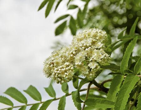 sorbus: White flowers on the bush of blossom sorbus.