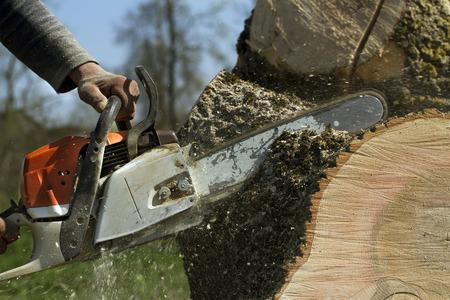 knippen: Man snijdt een omgevallen boom, gevaarlijk werk. Stockfoto