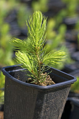 Young pine tree in a pot. photo