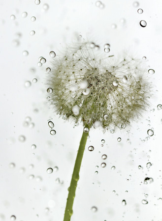 Fluffy dandelion with drops of water.