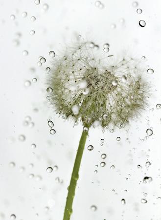 Pissenlit Fluffy avec des gouttes d'eau. Banque d'images - 29332038