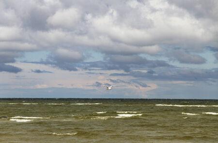 seabird: Seabird in a sky above Baltic sea.