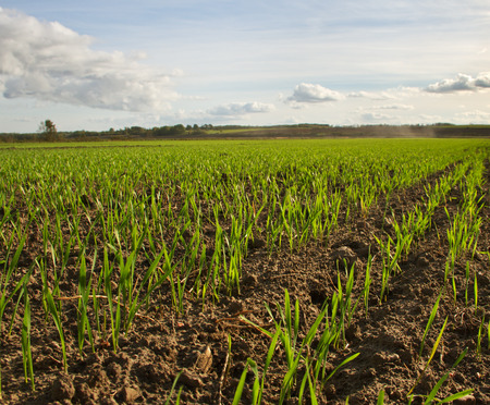 Young wheat growing on a field. photo