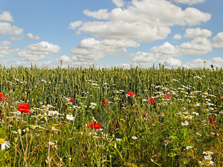 Wheat field with beautiful weeds. photo