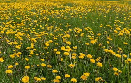 Field of dandelions in a spring. photo