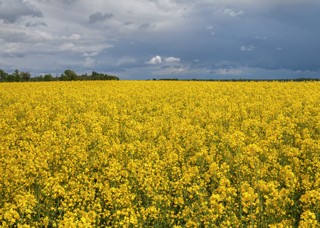 rapaseed: Canola field and big storm clouds.