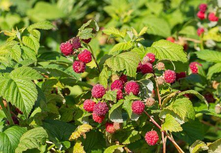 Growing natural bush of raspberry. Stock Photo