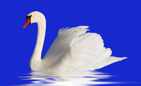 fluffy: Fluffy white swan isolated on blue surface.
