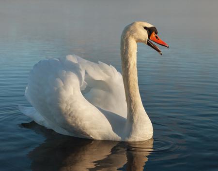 beak: Swan with open beak on the water.