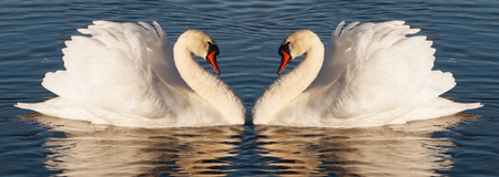 swimming swan: Pair of white swans on the water.