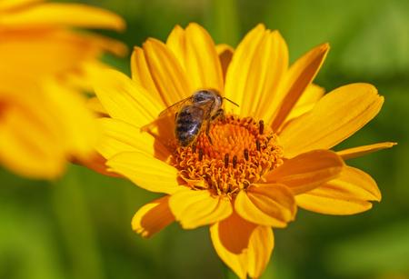 big flower: Bee on yellow big flower.