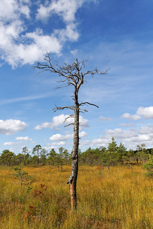 bog: Dry tree in the bog. Stock Photo