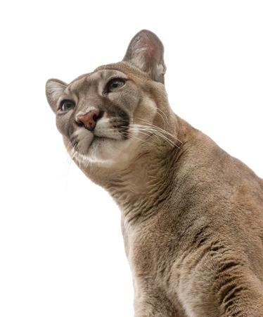 Vie de cougar en captivité. Banque d'images - 56336713