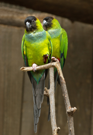 loros verdes: Two green parrots on a branch. Foto de archivo