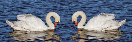 to mirror: Two swans in the mirror.