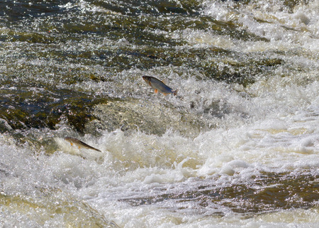 upstream: Fish jumping up in waterfall and going upstream for spawning.