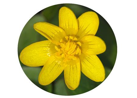 palustris: Plant of marsh marigold, caltha palustris.