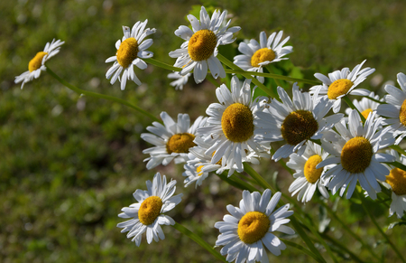 Old daisies growing in a garden.