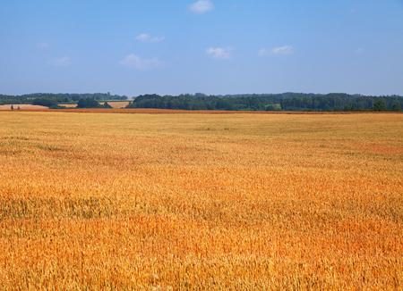 Gold rape field.