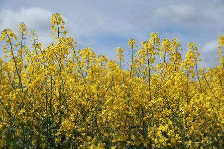 cultivating: Blooming rapeseed field in a spring.