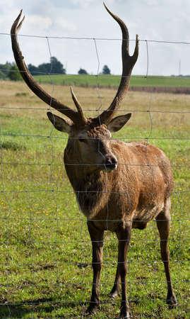 Closed big wild deer. Stock Photo