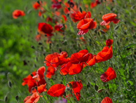 Red poppies on green field.