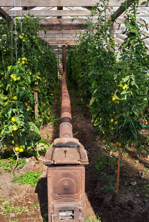 Group of tomatos with wood burning stove in greenhouse.