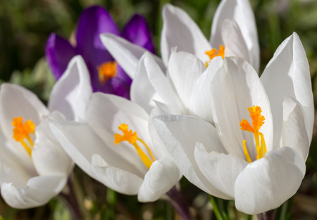 Crocus white and violet in natural conditions.