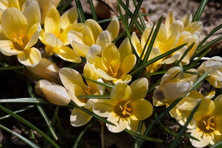 Yellow crocuses on the flower bad with mulch.