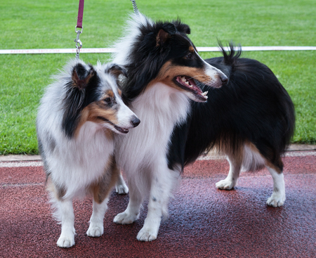 Two Shetland Sheepdogs outdoor on stadium.