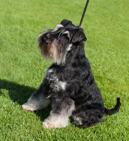 Standard Schnauzer dog on a lawn. Banco de Imagens