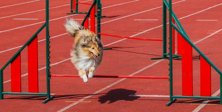 Dog is jumping above sports barrier.