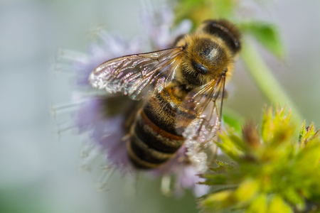 Blossom of mentol plant in a garden with honey bee. Stock Photo