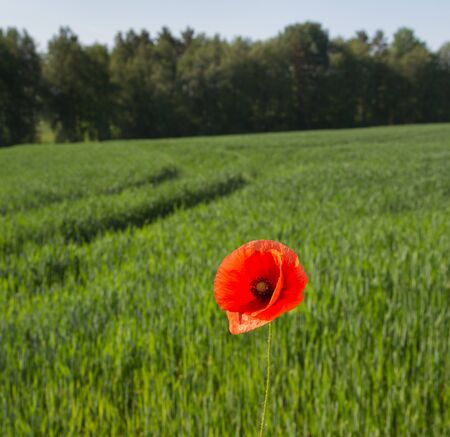 Red poppy on green cereal field in summer.