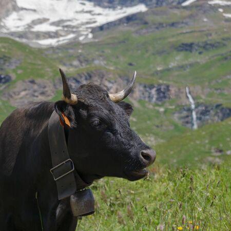 Cow on Italian Alp land. Banco de Imagens