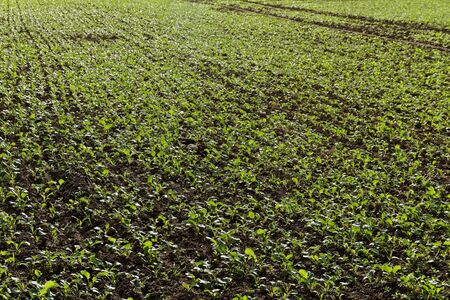 Green growing canola on a field.