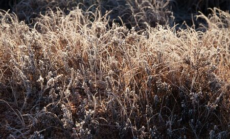 Autumn dry grass covered with hoarfrost on a bog.