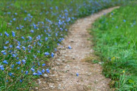 Small gravel path and cornflowers. Reklamní fotografie