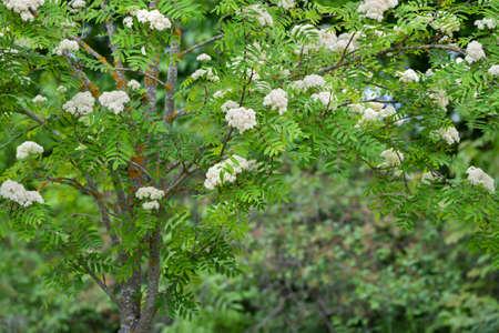 Flowering romanberry tree in the countryside. Reklamní fotografie