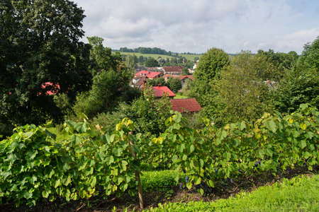 View to grape garden on a hill.