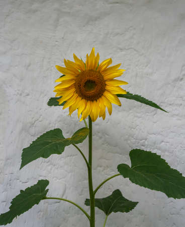 One sunflower grow at the wall of house.