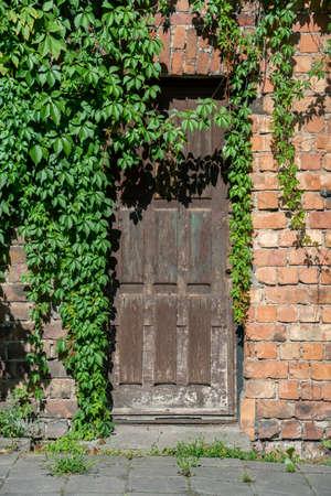 Old door with virginia creepers.
