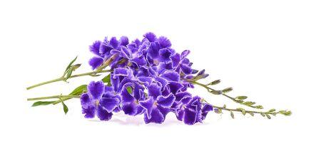 Fleurs de printemps violet sur fond blanc