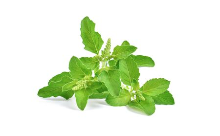 Holy Basil,Ocimum sanctum isolate on white background.