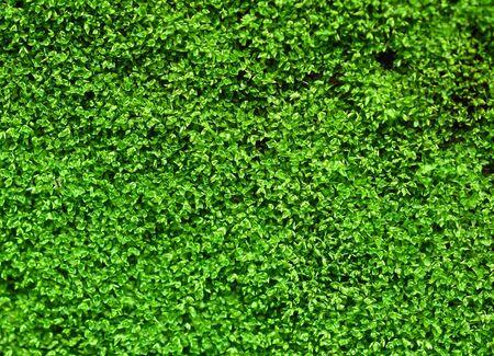 Grünes Moos lokalisiert auf weißem Hintergrund Standard-Bild