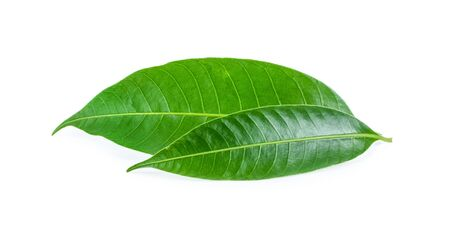 mango leaves on a white background. Stock Photo