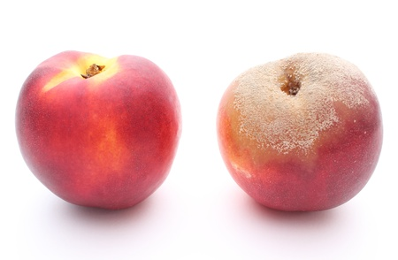 Two peaches - fresh and moldy isolated on white background photo