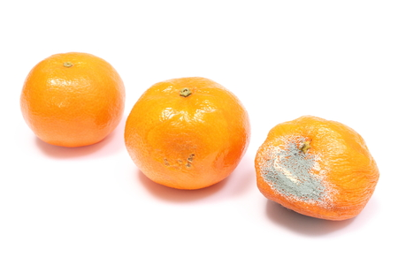 Mandarins - fresh and moldy isolated on white background photo