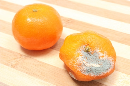 Two mandarins - fresh and moldy isolated on wooden background photo