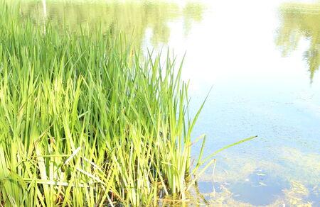 plantas acuaticas: Estanque con plantas acu�ticas en el d�a soleado de verano